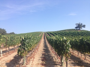 TYrenton vineyard